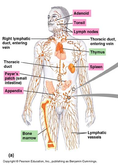 secondary lymphoid tissues