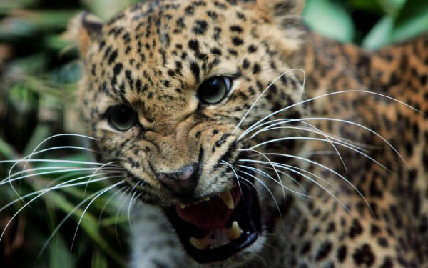 The rare Javan Leopard