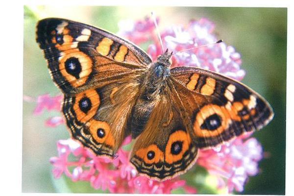 20121129000456-meadow_argus_butterfly