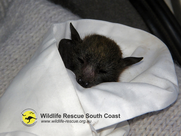Baby Faraday, smallest of the rescued bats