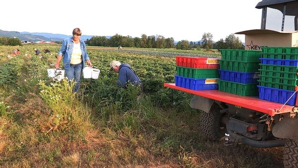Vicki Hertel harvesting strawberries at Sun Gold Farm