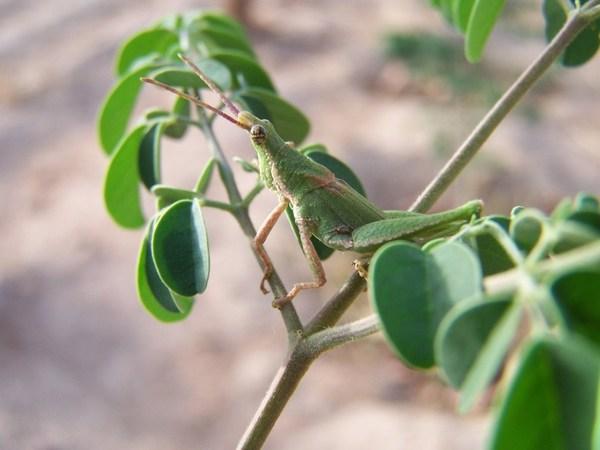Moringa plant with a bug.
