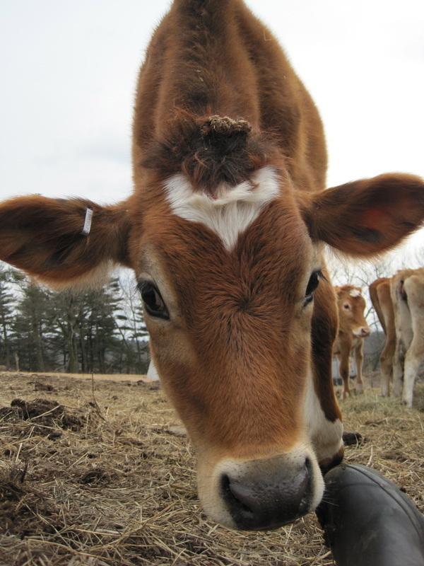 Eastleigh Farm Cows are Grateful.
