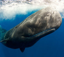 20130412092026-blog_sperm_whale_sony_world_phot_awards